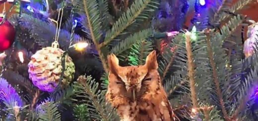 Owl in the Christmas tree