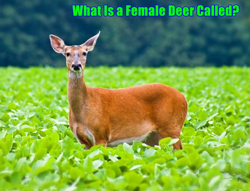 What Is a Female Deer Called